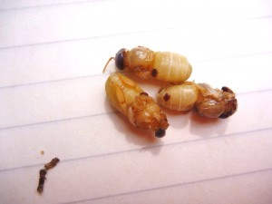 Varroa på drönarlarver. Foto: Per Thunman